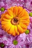 Желтый gerbera Стоковые Изображения RF