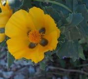 Желтый Horned мак или Glaucium Flavum Крит Греция Стоковое Фото