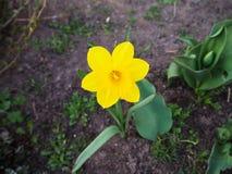Желтый narcissus растет в земле стоковая фотография rf
