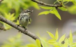 Желтый-rumped Warbler Стоковая Фотография