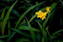 Желтый sp spathoglottis Стоковая Фотография