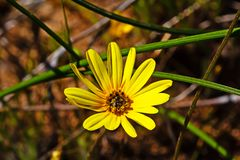 Желтый Wildflower маргаритки ноготк стоковое фото rf