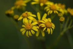 Желтый Wildflower Стоковое фото RF