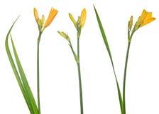 3 желтых изолированных малых цветка лилии с бутонами Стоковое Фото
