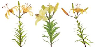 3 желтых изолированных цветка лилии Стоковая Фотография