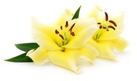 2 желтых лилии Стоковые Фотографии RF