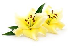 2 желтых лилии Стоковое Изображение