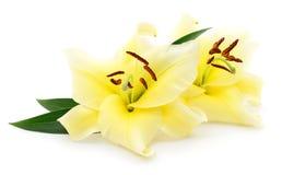2 желтых лилии Стоковое Фото