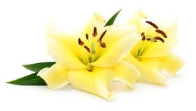 2 желтых лилии Стоковые Изображения RF