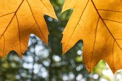2 желтых листь осени перед лесом Стоковое фото RF