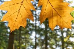 2 желтых листь осени перед лесом Стоковое Изображение RF