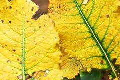 2 желтых листь осени с зелеными венами Стоковые Изображения