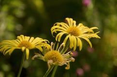3 желтых маргаритки стоят вне против запачканного backgroung сада Стоковая Фотография