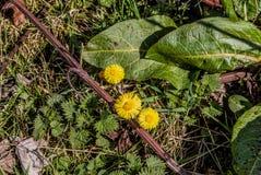 3 желтых маргаритки Стоковые Изображения RF