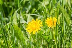 2 желтых одуванчика весны в зеленой траве Стоковая Фотография RF