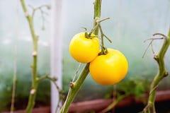 2 желтых органических томата Стоковое Изображение