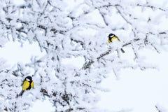 2 желтых птицы среди белых ветвей зимы Стоковая Фотография RF