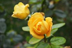 2 желтых розы растут на кусте Стоковое Фото