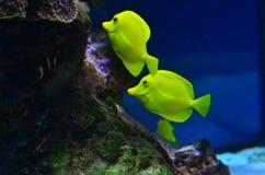 2 желтых рыбы плавая около утесов и морской водоросли Стоковые Фотографии RF
