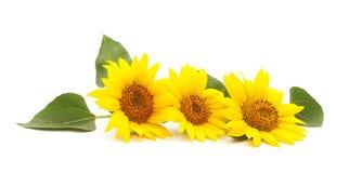 3 желтых солнцецвета Стоковые Изображения