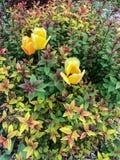 3 желтых тюльпана в цветочном саде Стоковая Фотография RF