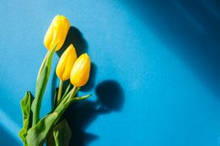 3 желтых тюльпана на голубой предпосылке Spac взгляд сверху и экземпляра Стоковая Фотография