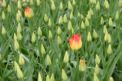 2 желтых тюльпана растут в поле с неполовозрелыми тюльпанами Стоковые Изображения