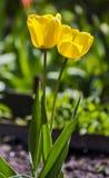 2 желтых тюльпана Стоковое Изображение