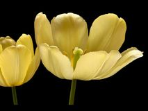 2 желтых тюльпана Стоковые Изображения