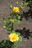2 желтых цветка и 2 бутона подняли Стоковые Фотографии RF
