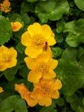 3 желтых цветка ноготк болота в зеленых листьях Стоковые Фотографии RF