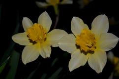 2 желтых цветка narcissus, принятого на ночу Стоковое Фото
