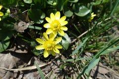 2 желтых цветка verna Ficaria Стоковое Фото