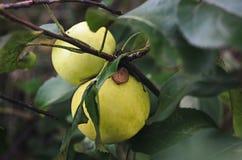 2 желтых яблока висят на ветви в саде Стоковое фото RF