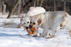 2 желтых labradors в зиме в снеге с игрушкой Стоковые Изображения