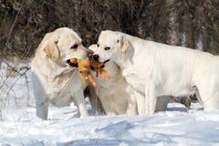 3 желтых labradors в зиме в снеге с игрушкой Стоковые Изображения