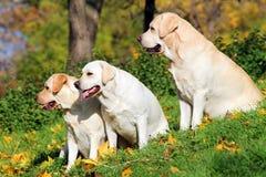 3 желтых labradors в парке в осени Стоковая Фотография