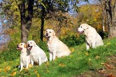 4 желтых labradors в парке в осени Стоковое Изображение