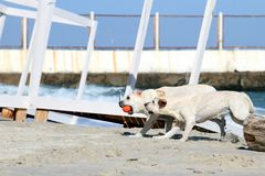 2 желтых labradors играя на море Стоковое Изображение RF