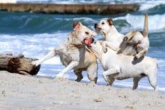 3 желтых labradors играя на море Стоковые Изображения