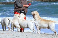 4 желтых labradors играя на море Стоковое Изображение