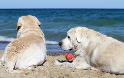 2 желтых labradors играя на портрете моря Стоковые Изображения
