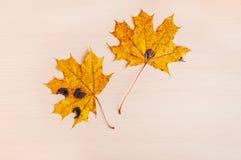 2 желтых mapleleaves осени Стоковое Изображение