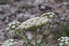 Желт-белый конец-вверх цветков на серой предпосылке цветки на зеленом черенок Круглые цветки стоковое фото