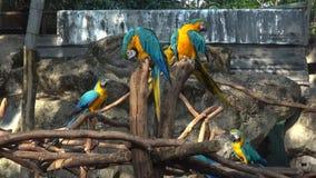Желт-голубое ararauna Ara ар Chiang Mai, Таиланд сток-видео
