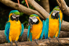 Желт-голубой macaw Стоковое фото RF