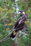 Желт-замкнутый черный какаду сидя в дереве Стоковая Фотография RF
