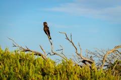 Желт-замкнутый черный какаду, южная Австралия Стоковые Изображения