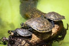 Желт-запятнанные unifilis Podocnemis черепахи Амазонкы Стоковое Изображение RF