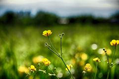 Желт-зеленое растущее цветков среди молодой зеленой травы в Стоковое Фото